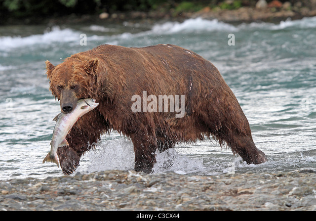 Alaskan Brown Bear (Ursus arctos middendorffi, Ursus middendorffi) with caught Chum Salmon in Mc Neil River. - Stock Image
