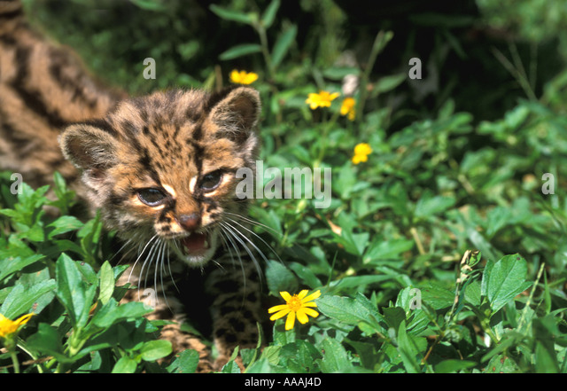 Honduras Margay Cub standing in flowers wild animal cats horizontal - Stock Image
