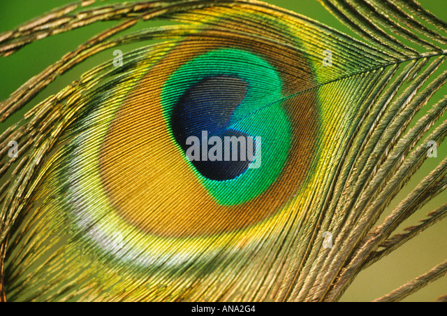 Close-up of peacock feather - Stock Image