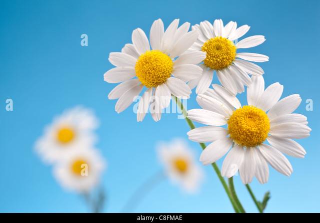 Macro shot of wild chamomiles on a blue sky background. - Stock Image