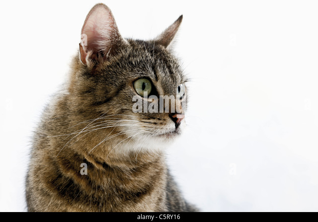 Domestic cat, portrait, close-up - Stock Image