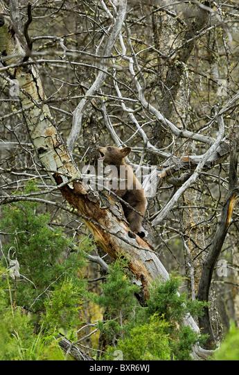 Cinnamon-colored Black  cub climbing tree. - Stock Image