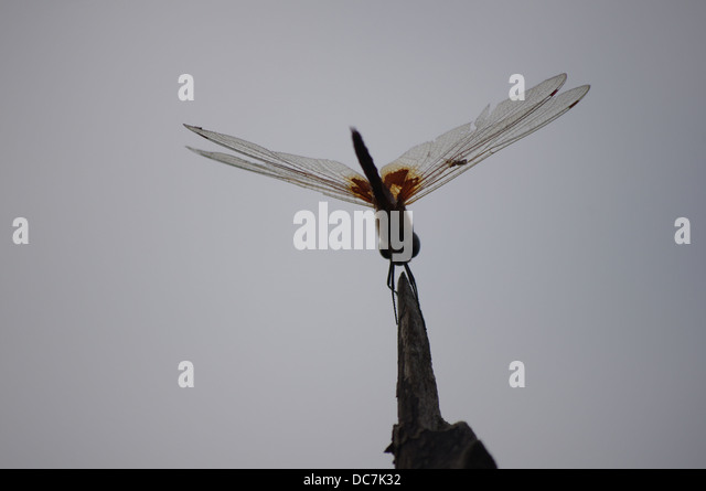 amazing giant african dragonfly senegal - Stock Image