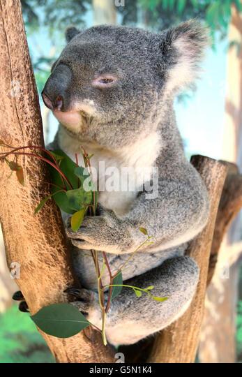 Close up of Australian native animal Koala on a tree eating Eucalyptus leaves - Stock-Bilder