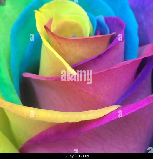 Rainbow rose - Stock-Bilder