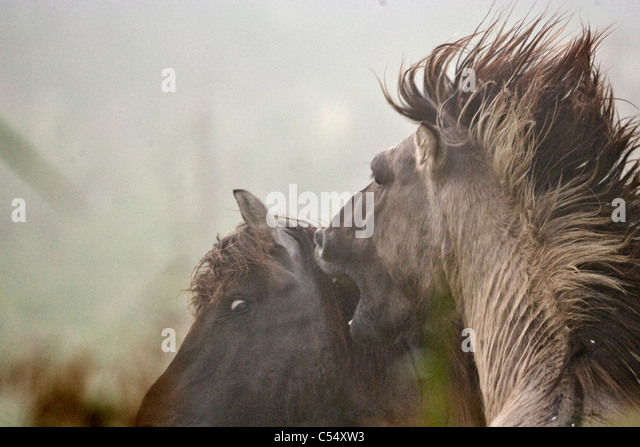 The Netherlands, Lelystad, National Park called Oostvaarders Plassen. Konik horses fighting. - Stock-Bilder