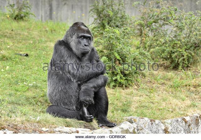 Female Gorilla ''Fatou'' (born in Africa 1957) in Berlin Zoo enclosure. - Stock-Bilder