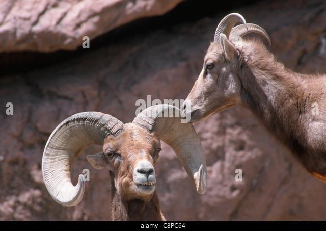 Ram Big Horn >> Female Desert Bighorn Sheep Ovis Canadensis Stock Photos & Female Desert Bighorn Sheep Ovis ...