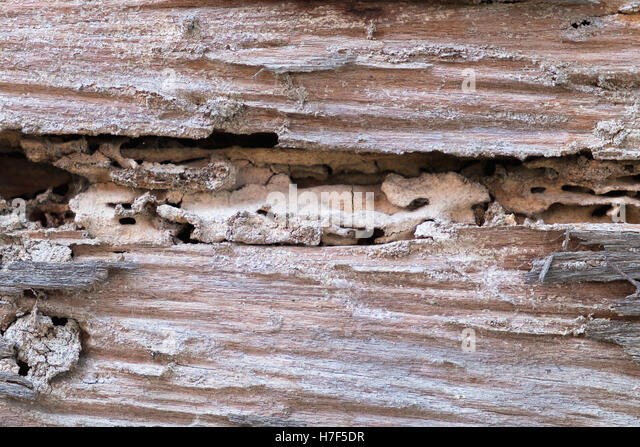 Termites Eating Wood Termites Nest Stock Ph...