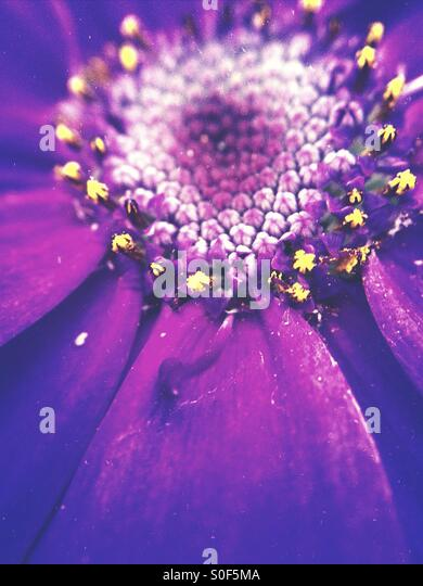 Close up of a cineraria - Stock Image