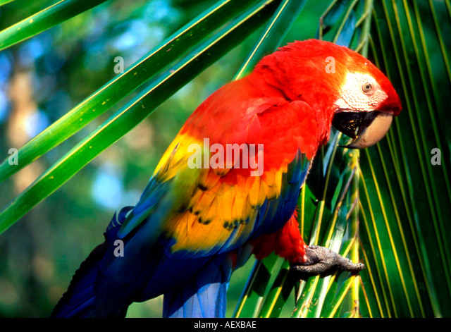 Costa Rica Ara Scarlet macaw Ara macao Costa Rica  - Stock Image