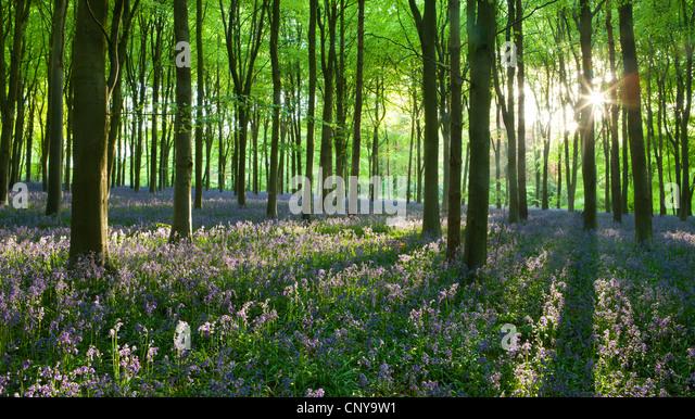 Early morning sunlight in West Woods bluebell woodland, Lockeridge, Marlborough, Wiltshire, England. Spring (May) - Stock Image