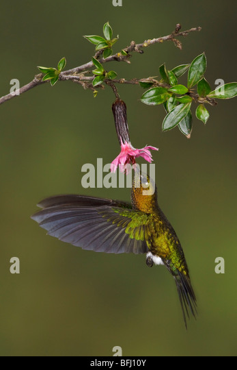 Golden-breasted Puffleg (Eriocnemis mosquera) flying and feeding at a flower at the Yanacocha reserve near Quito, - Stock Image