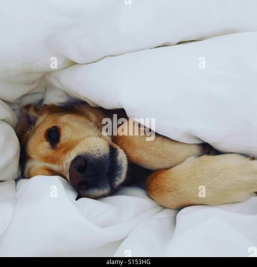 White dog resting on white blanket - Stock-Bilder
