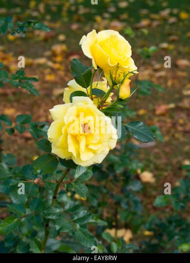 yellow flowering bush stock photos yellow flowering bush stock images alamy. Black Bedroom Furniture Sets. Home Design Ideas