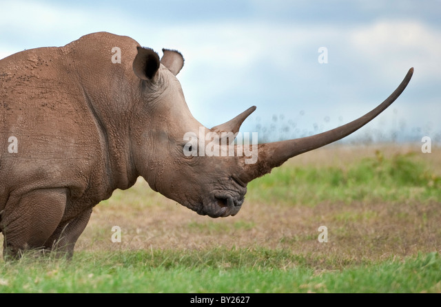 A white rhino with a very long horn. Mweiga, Solio, Kenya - Stock Image