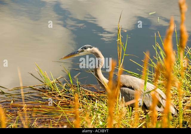 Bird great blue heron stalking at shoreline iconic everglades national park image Ardea herodias - Stock Image