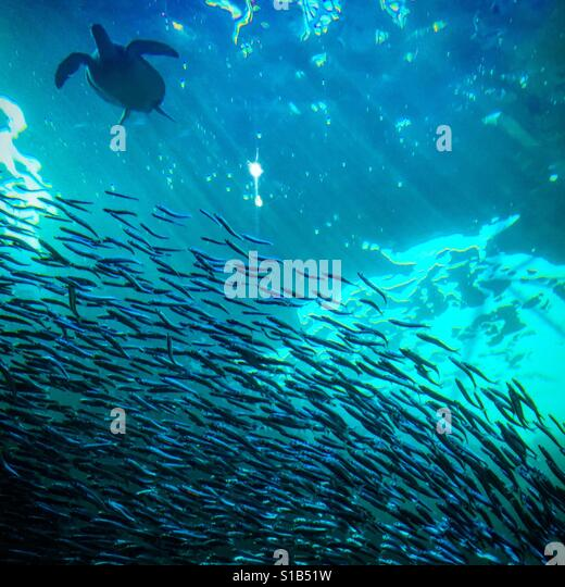 Turtle swimming by a school of fish - Stock Image