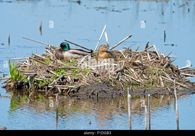 A Male and Female Mallard in their nest - Stock Image