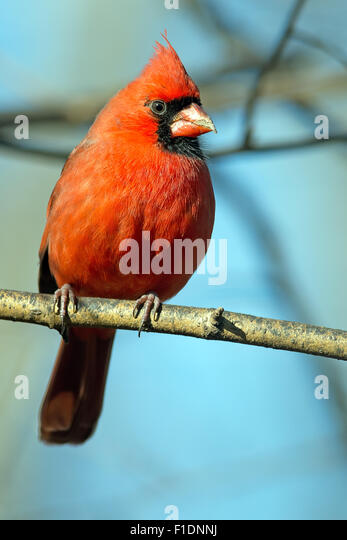Male Northern Cardinal sitting on a Branch - Stock-Bilder