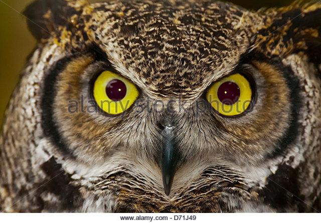 Great horned owl (Bubo virginianus), Deer Mountain Tribal Hatchery and Eagle Center, Ketchikan, Alaska USA - Stock-Bilder