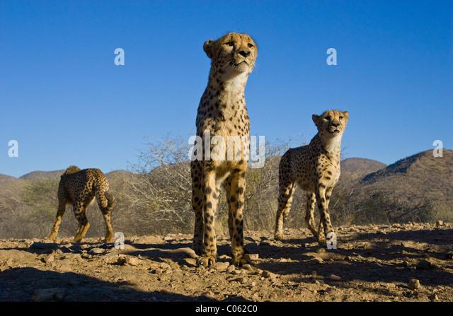 Low Angle cheetah, Khomas Hochland, Namibia - Stock-Bilder