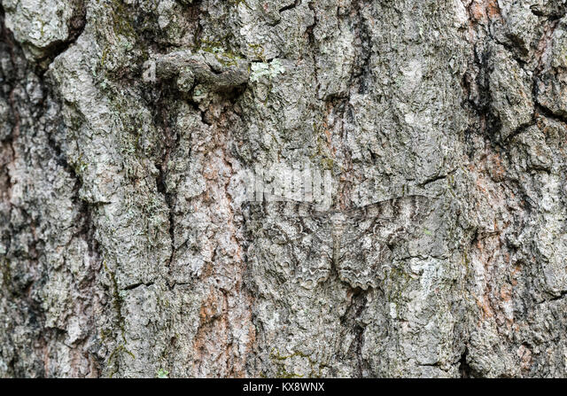 Tulp-Tree Beauty moth camouflaged on oak bark. Cove Mountain (TNC) Preserve, Perry County, Pennsylvania, spring. - Stock Image