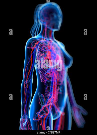 Cardiovascular system  artwork - Stock Image