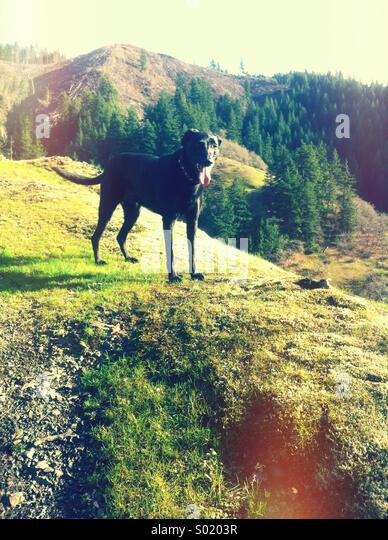 Black dog on green hillside - Stock Image