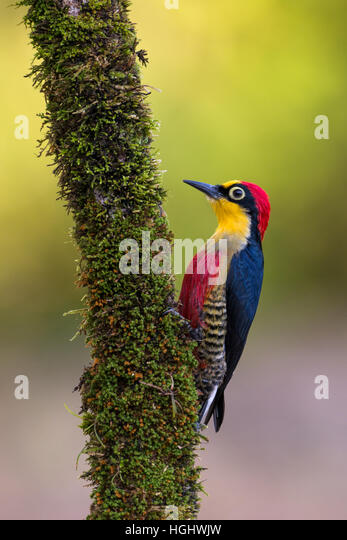 A male Yellow-fronted Woodpecker from the Atlantic Rainforest - Stock Image