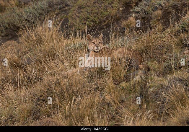 Wild Puma (Puma concolor) from Torres del Paine, Chile - Stock Image