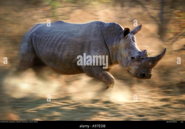 Charging white rhino Kapama Game Reserve South Africa - Stock Image