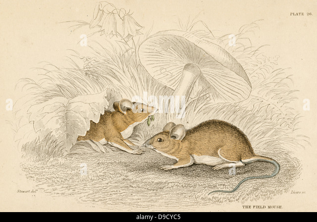 Field Mouse - Mus sylvatica: small rodent. Hand-coloured engraving from A History of British Quadrupeds,  Edinburgh, - Stock Image