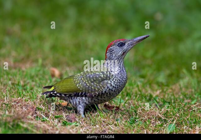 European green woodpecker (Picus viridis) juvenile foraging in meadow - Stock Image
