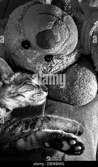 Cat sleep with teddy bear - Stock Image