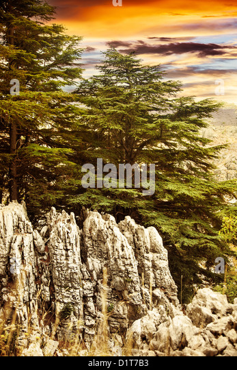Image of cedars forest of Lebanon, coniferous woods on the rocks, dramatic red sunset, big green pine trees in the - Stock Image
