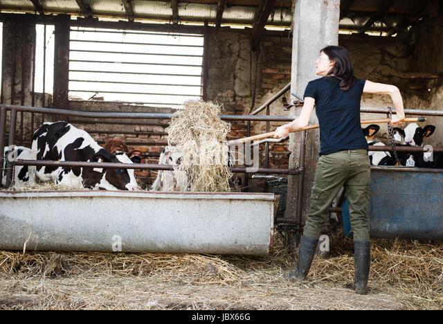 Female organic farmer feeding pitch fork of hay to calves on dairy farm - Stock-Bilder