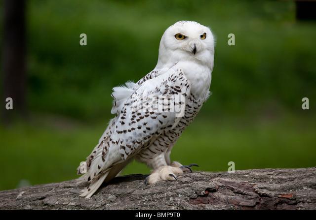 Snowy Owl Close Up