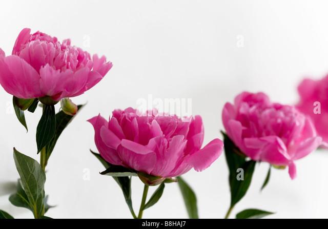 Peonies. Latin name: Paeonia - Stock Image