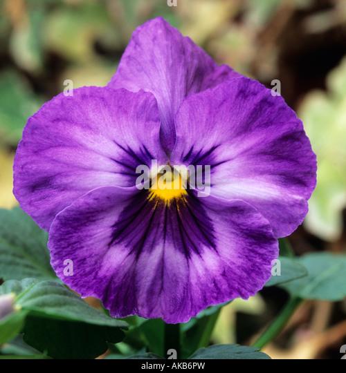pansy Viola Ultima Impression Blue - Stock Image