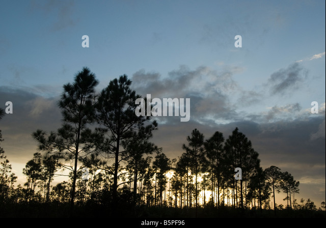 Everglades National Park Fl sunset silhouettes the pinelands pine rocklands slash pine forests everglades trees - Stock Image