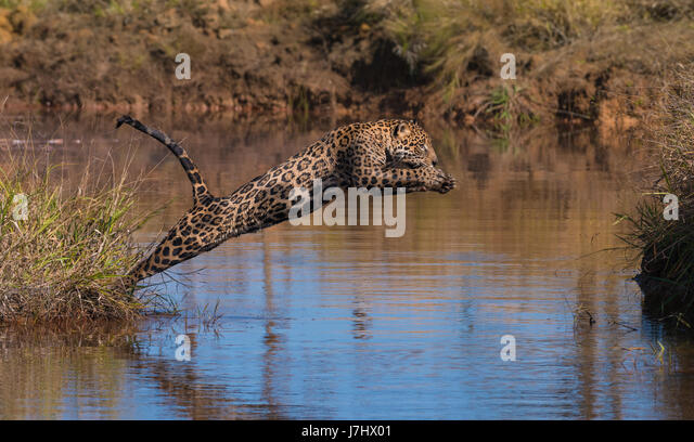 A Jaguar jumps across a water body - Stock Image