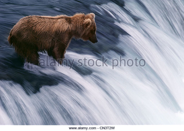 A bear hunts for salmon on Brooks Falls, Katmai National Park, Alaska - Stock Image
