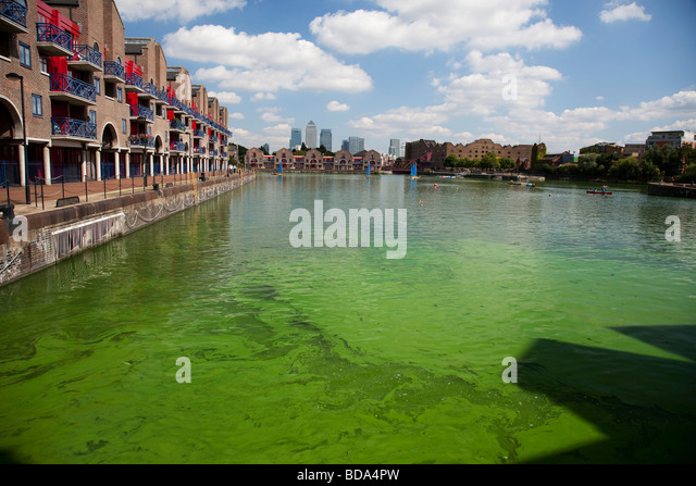 Dangerous to health, this Blue Green Algae grows in Shadwell Basin East London. The local council put up signs warning - Stock Image