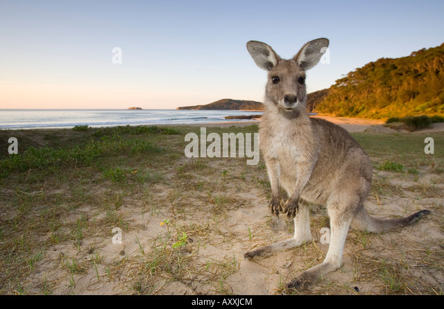 Eastern Grey Kangaroo, (Macropus giganteus), Pebbly Beach, Marramarang N.P., New South Wales, Australia - Stock Image
