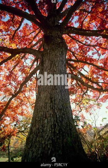 Quercus alba stock photos images alamy