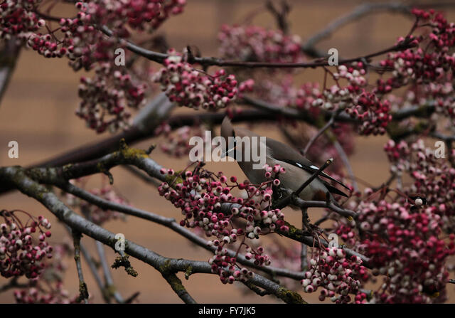 Bohemian Waxwing (Bombycilla garrulus) - Stock Image