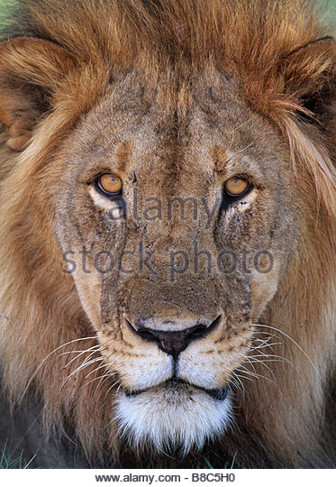 AFRICAN LION male - Stock Image