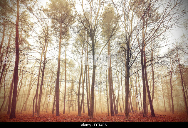 Retro filtered picture of a misty forest. - Stock Image