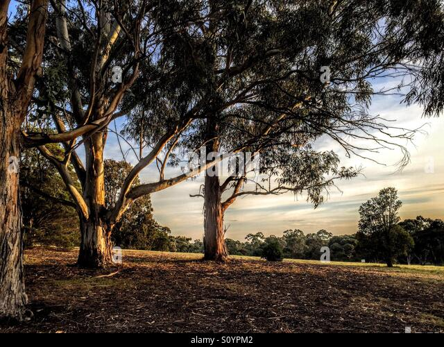 Trees at sunset on hill with outlook - Stock Image
